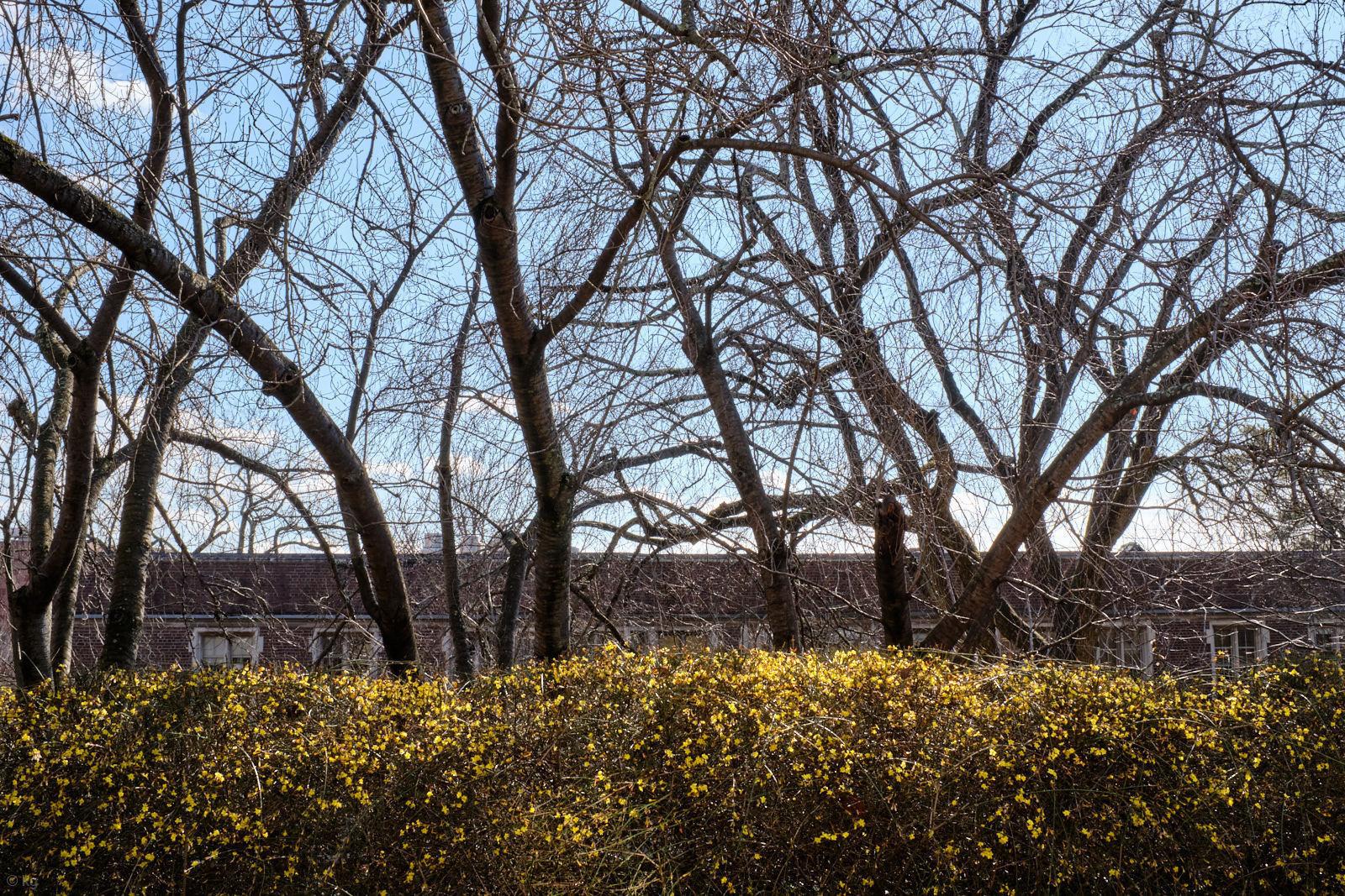 Prunus 'kanzan'